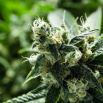 How to Buy Marijuana Stocks for Dummies