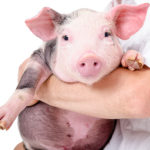 Xenotransplantation – Harvesting Organs from Pigs